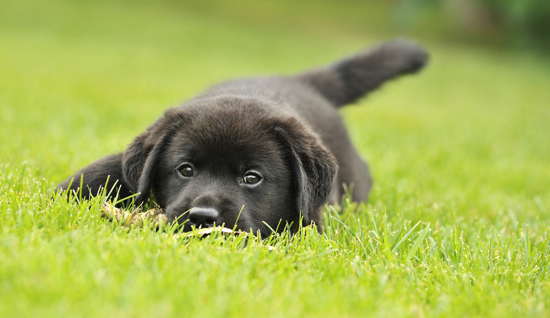 Puppy nestled in a green lawn